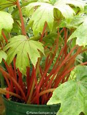 Begonia pedatifida Red Petiole ° 1 plant ° rustique