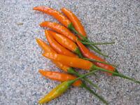 Orange Thai-Chili (Zipfelmützenchili) 10 Samen