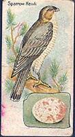 Gossage - British Birds and Their Eggs - 20 - The Sparrow Hawk