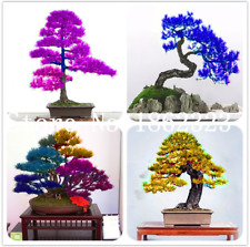 10 Pcs Seeds Japanese Cedar Bonsai Tree Home Garden Miniascape Potted Plants New