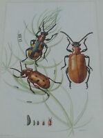 Objet scolaire planche insecte N°71 CRIOCÈRE DU LIS,DE L'ASPERGE