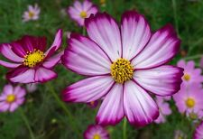 Candystripe Cosmos Flower Seeds Packet 1 Gram Showstopper 2019 Usa Vibrant bloom