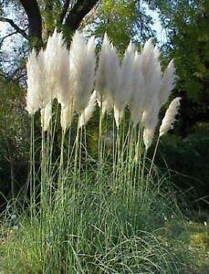 winterharte Garten Staude i! PAMPASGRAS !i bewegt sich im Wind - Meeresrauschen.