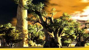 10 Samen Afrikanischer Affenbrotbaum Baobab Adansonia digitataBonsai