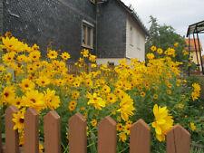 Staudensonnenblumen 6 Pflanzen leuchtend gelb blühend winterhart, Bio-Garten