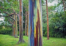 Regenbogenbaum Eucalyptus deglupta 1000 Samen Einzigartiges Farbspektakel BONSAI