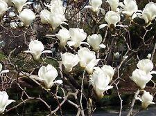 Magnolia denudata Magnolia Tree Seeds!