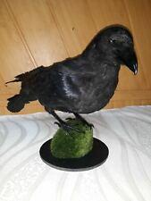 Real Stuffed raven Taxidermy Bird Mount #1