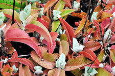 Kalanchoe gastonis-bonnieri, donkey ears plant exotic succulents seed -15 SEEDS