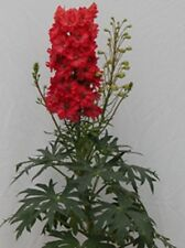 GIANT RED DELPHINIUM  FLOWER SEEDS  / PERENNIAL