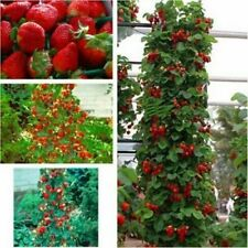 Red Climbing Strawberry, 20 Seeds, Garden Non-Gmo Berry Fruit Juicy Plant Bonsai
