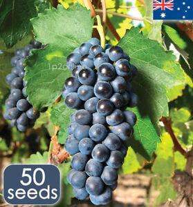 Concord Grape Seeds 50 RARE Grape Seed Unusual Fruit Vine Plant Tree