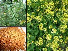 200 semi Senape Bianca Gialla Sinapis Alba White Mustard seeds