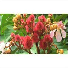 50 Achiote árbol Lipstick planta siempre verde Semillas De Flores