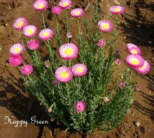Paper Daisy - Everlasting - 200 SEEDS Helipterum Roseum - Giant flowered mixture