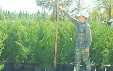 20 Leyland Cypress Trees  3  Feet Tall! Evergreen- FREE Shipping!