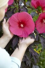 HIBISCUS MOSCHEUTOS 'CAROUSEL PINK PASSION' - PLANT - APPROX 6 INCH
