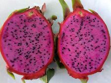 Dark Star, Dark Purple/Red Flesh Dragon Fruit 2 new Cuttings 8