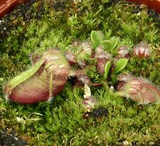 CEPHALOTUS FOLLICULARIS (Albany carnivorous Pitcher Plant) rare extra large type
