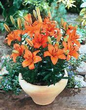 Orange Dwarf Asiatic Lilium Perennial Lily Bulbs Fragrant Rare Hardy Exotic Gift