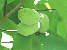 10 COMMON PAWPAW TREE SEEDS - Asimina triloba