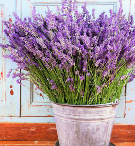 Sweet Lavender Seeds   USA Garden Flower Herb Purple Seed Aromatherapy For 2021