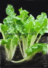 Large Ribbed Dark Green SWISS CHARD  50+ seeds 60 days Organic NON-GMO