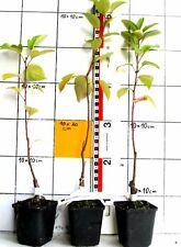 """Malus X hybr. """"Evereste"""", Zierapfel - mit hübschen Früchten, bonsaigeeignet"""
