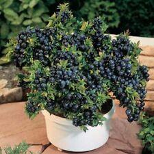 """Blueberry Seeds """"Dark Night"""" Russian Berry Seeds Bonsai Plants Home Garden"""