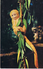 Vintage SAN DIEGO ZOO California SPECTACLED LANGUR BABY Color Postcard UNUSED