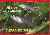 25+ Live Gambusia Mosquito Fish (Koi Pond) Aquarium Feeder Fish Hardy Guppy
