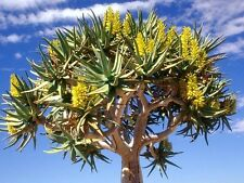 Aloe Dichotoma exotic quiver tree big succulent rare desert plant seed 100 SEEDS