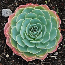 Wow 200Pcs New Good Fast Grow