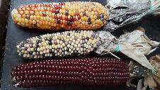 Bunter MAIS  wie Regenbogen (Zea mays japonica) für Popcorn, sehr süß, Gemüse,