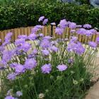 pincushion flower, scabiosa (Scabiosa atropurpurea)—100 seeds ($3.00)