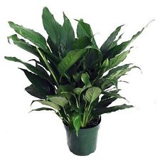 "Peace Lily Plant Flowers Spathyphyllium Great Live House Plant - 6"" Pot Indoor"