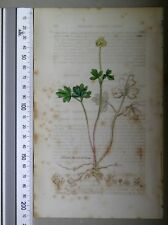 English Botany, Smith, Sowerby, handcoloured copperplate, 577, 3.Edition,1850.