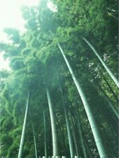 100g Moso Bamboo Hardy Rare Seeds -4 Giant Plant Pubescens Phyllostachys edulis