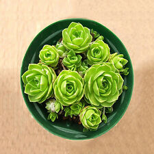 60pcs Succulents Seeds Potted Flower Seed Home Garden Office Decorative 17# Lnus