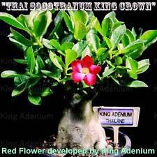 "ADENIUM THAI SOCOTRANUM  "" KING CROWN "" 100 SEEDS NEW VERY RARE WITH RED FLOWER"