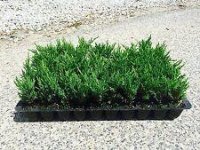 Andorra Compacta Juniper - 60 Live Plants - Evergreen Ground Cover