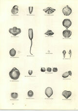 1854 Engravings Producta Martini Crania Terebatula