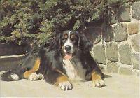 Alte Ansichtskarte Postkarte Hund Berner Sennenhund nicht gelaufen