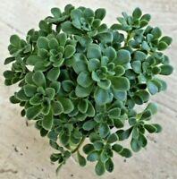 9cm Pot New Hybrid Succulent forms a pyramid shape Aeonium /'Nights Watch/'