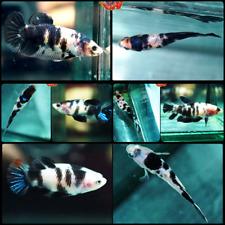 New listing Live Betta Fish Set x4 -Shiro Utsuri- White Tiger Koi Halfmoon Plakat Females