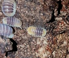 "Rare Isopode Cubaris sp. ""Jupiter"" X 6, cloporte detritivore, tropical bug"