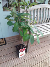Dwarf Patio Sunburst Cherry Tree, In a 5L Pot, Miniature & Self-Fertile