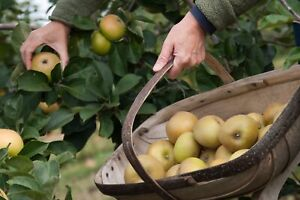 Bramley Cooking Apple Tree - Rooted in Organic Pot- Roughly 60 to 80cm Tall