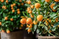 15 Samen Mandarinen Baum Citrus Exotische Samen Zimmerpflanze
