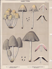 MUSHROOM PRINT. Edible Fungi Of New York. Circa 1900 ~Coprinus Micaceus~